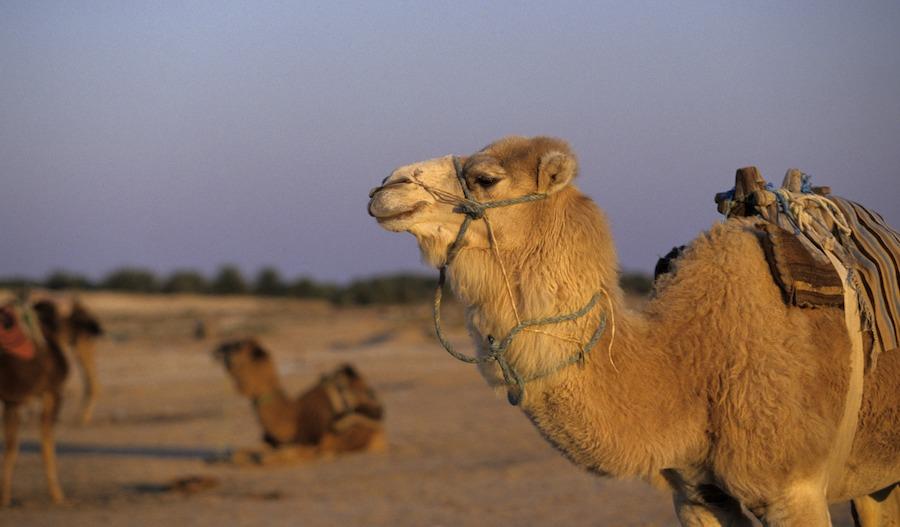 Rutas en dromedario por Douz La puerta del desierto