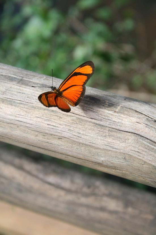 Las increíbles mariposas de las cascadas de Iguazú