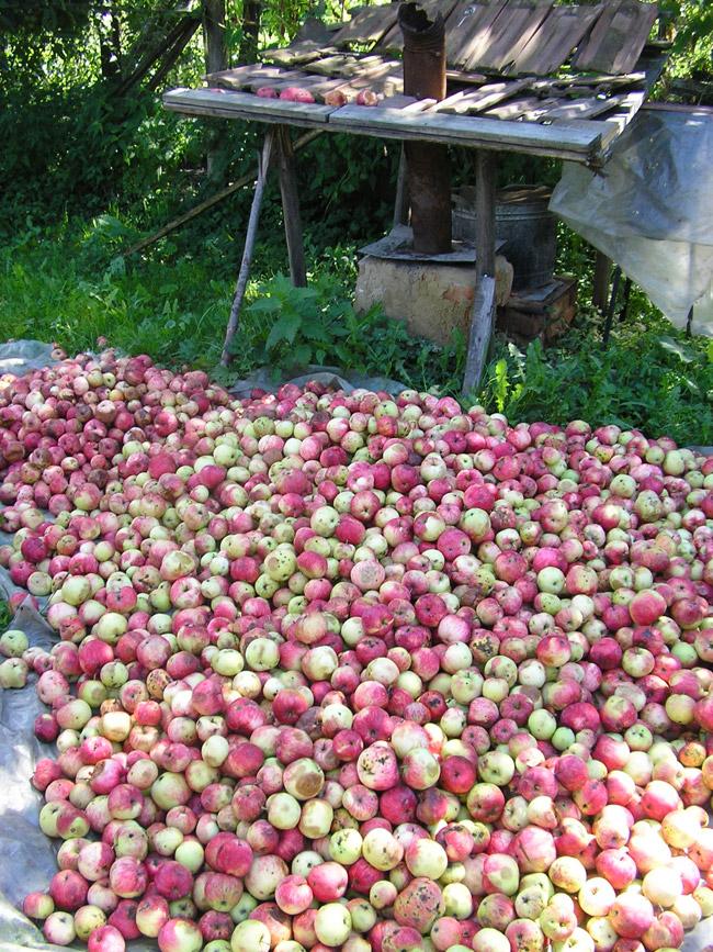 Montañas de manzanas preparadas para hacer Licor Palinka