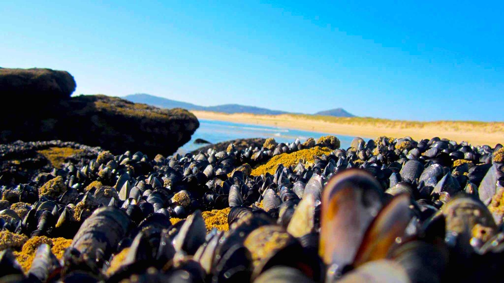 La riqueza de la costa gallega es increíble. El marisco crece en cualquier lugar. Playa de Vilar y Duna de Corrubedo. ©María Calvo.