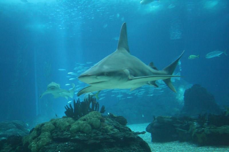 Tiburones en el acuario