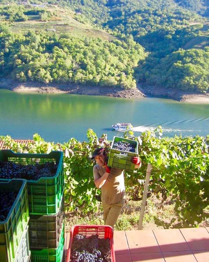 La época de vendimia es una buena ocasión para visitar la Ribeira Sacra y ver a los vendimiadores faenando entre los viñedos. ©Nancy González.