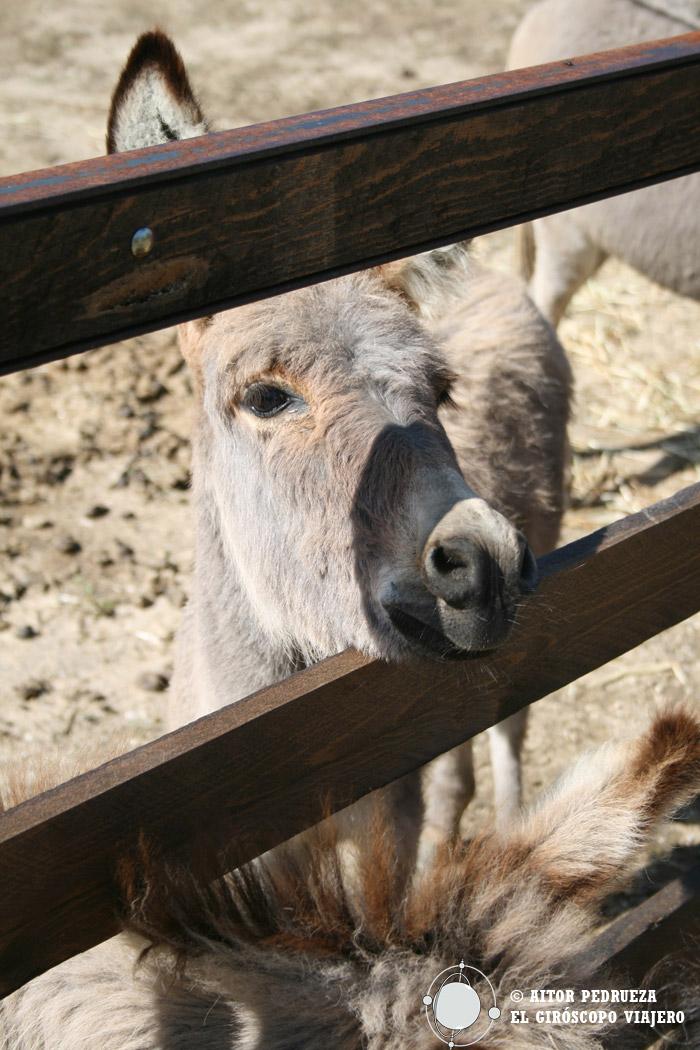 Los burros enanos sardos en el Parque S'Abba Frisca