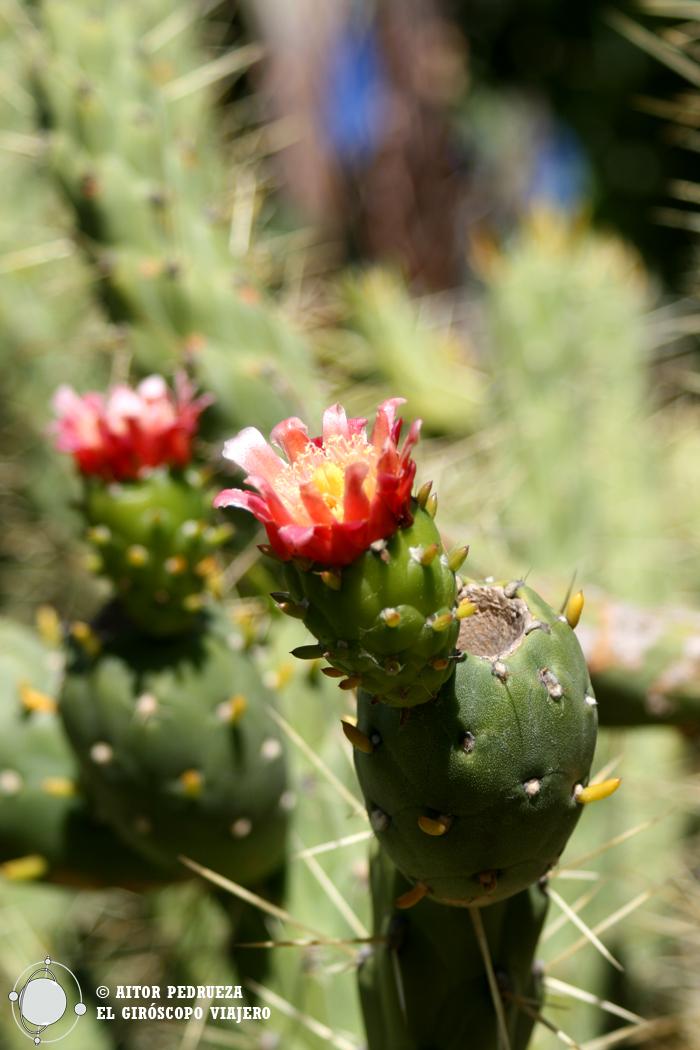 Detalle de la flor de la chumbera