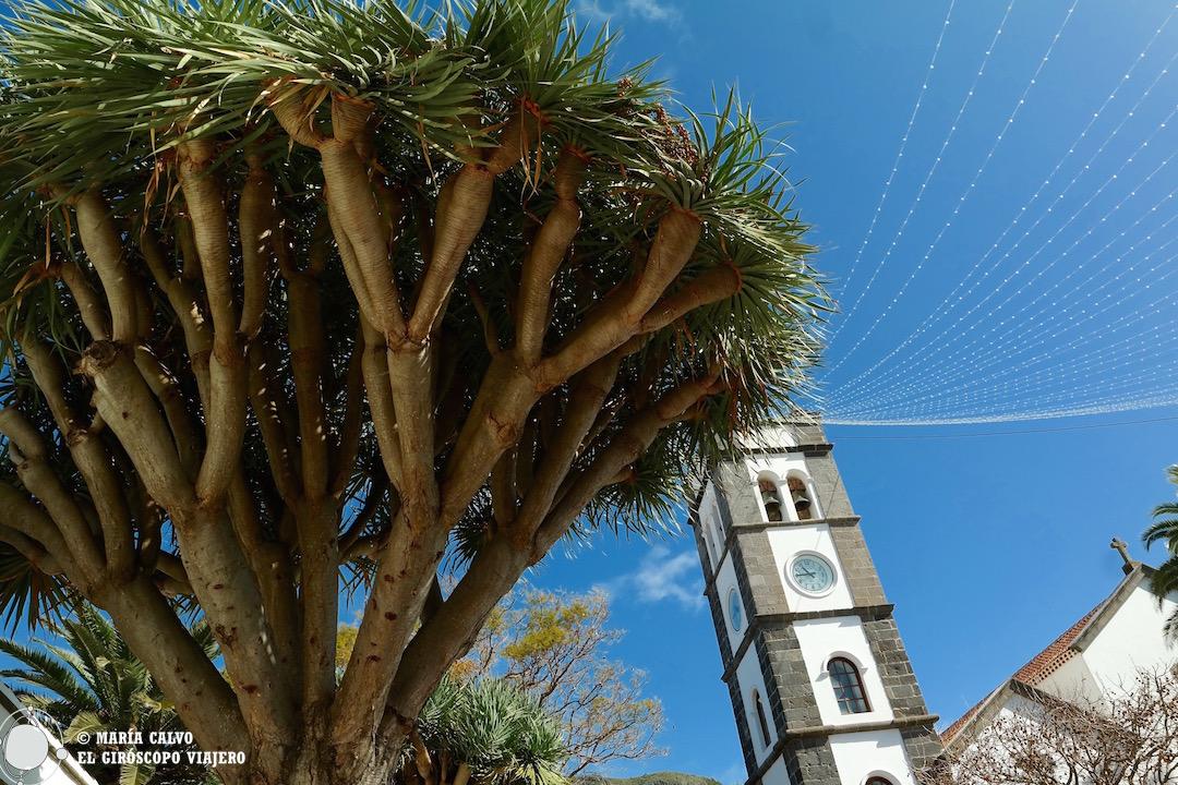 Drago delante de la iglesia de Tegueste