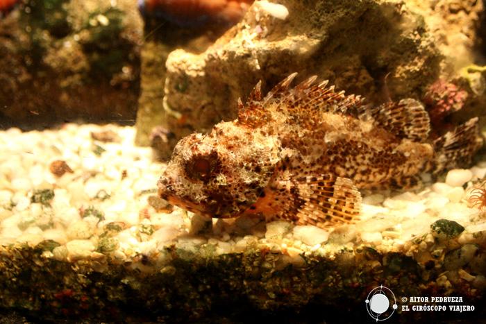 Cabracho del acuario de Génova