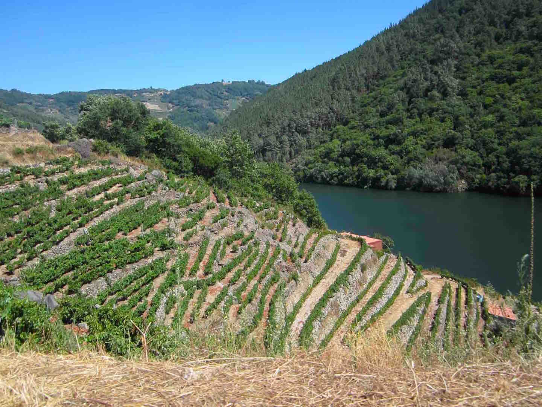 Viñedos escalonados que darán el delicioso vino Godello más tarde