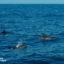Avistamiento de Delfines en Madeira