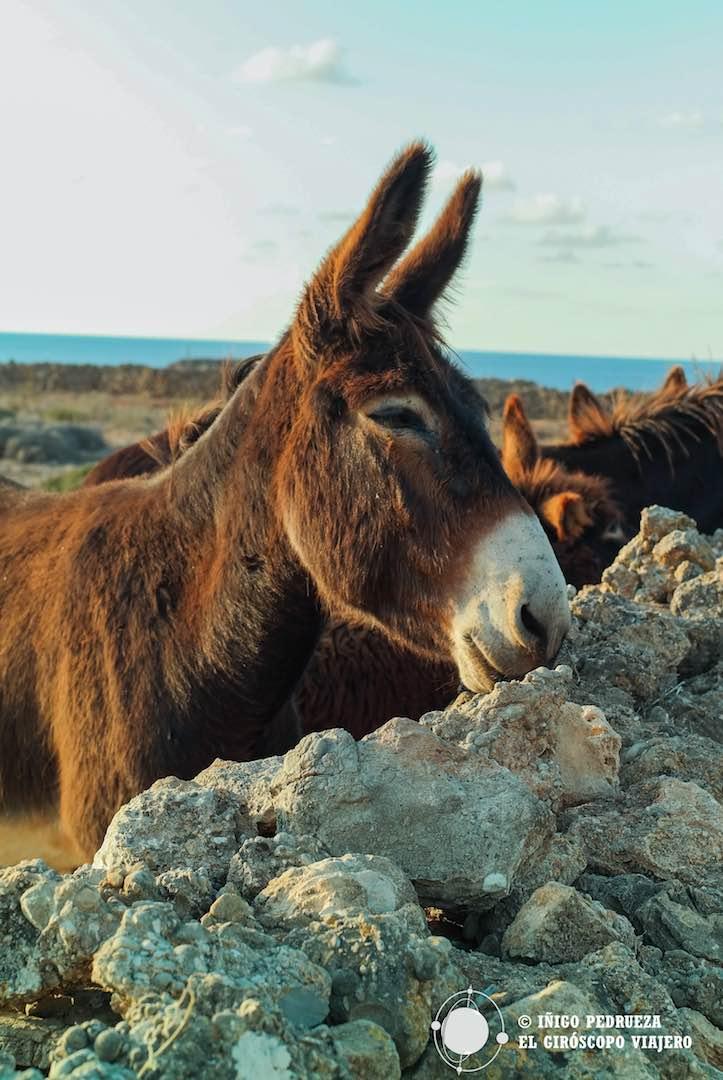 Simpáticos burros cerca de Cala Pozzo.