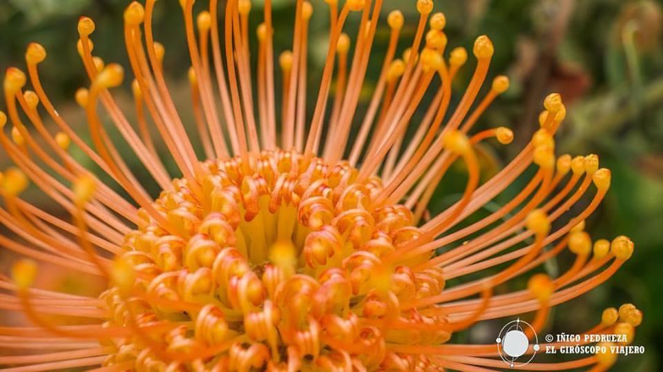 ¿No son magníficas las flores de Madeira? Corazón de Protea