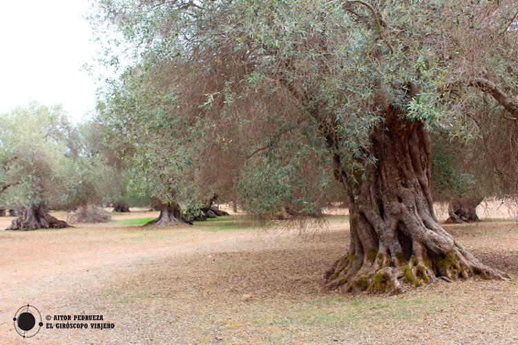 Campo de olivos centenarios en S'Ortu Mannu a las afueras de Villamassargia