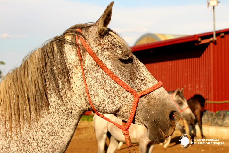 Potro de caballo lipizzano en Dakovo
