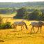 Susurrando a los caballos lipizanos de Dakovo