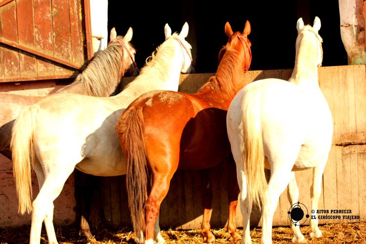 Los sociables caballos lipizzanos