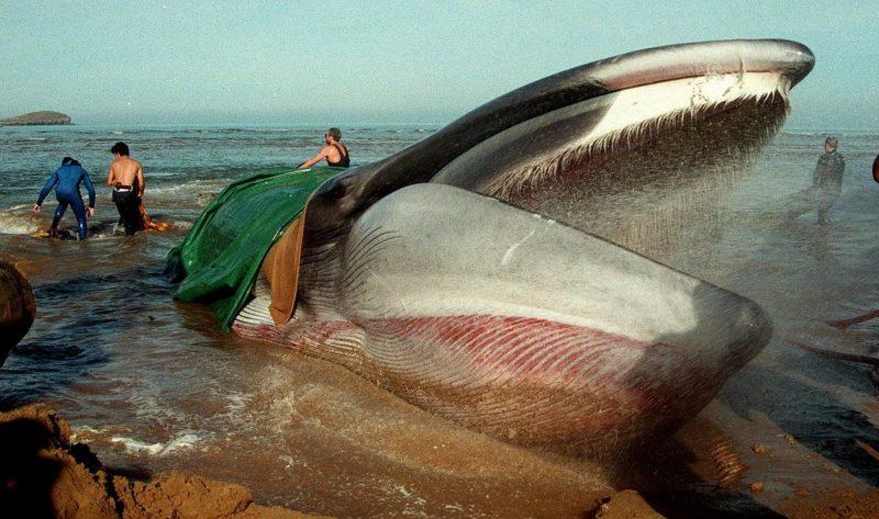 La ballena varada en la playa de Oriñón