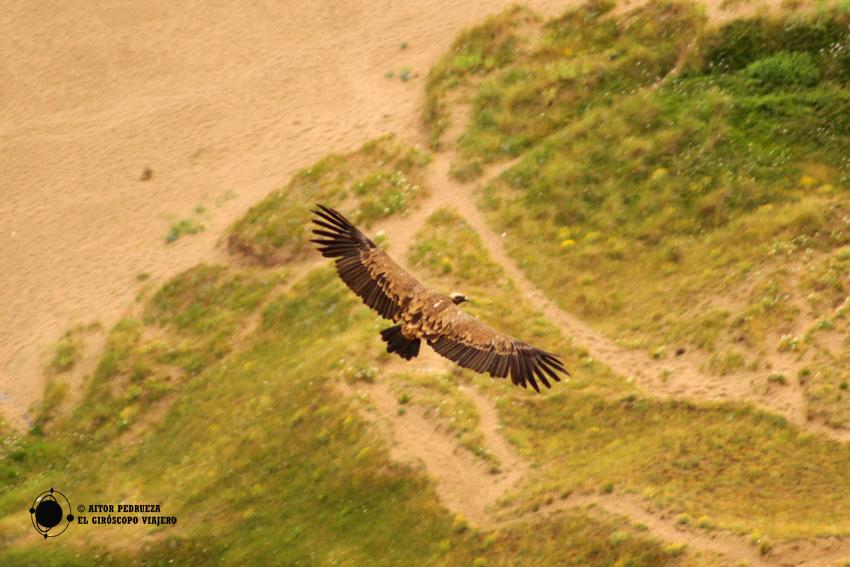 Buitre leonado sobrevolando la playa de Sonabia