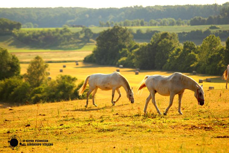 Caballos de raza Lipizzana de Dakovo