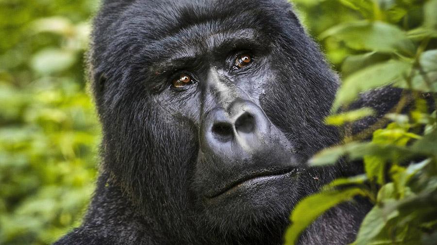 Gorilas de Uganda