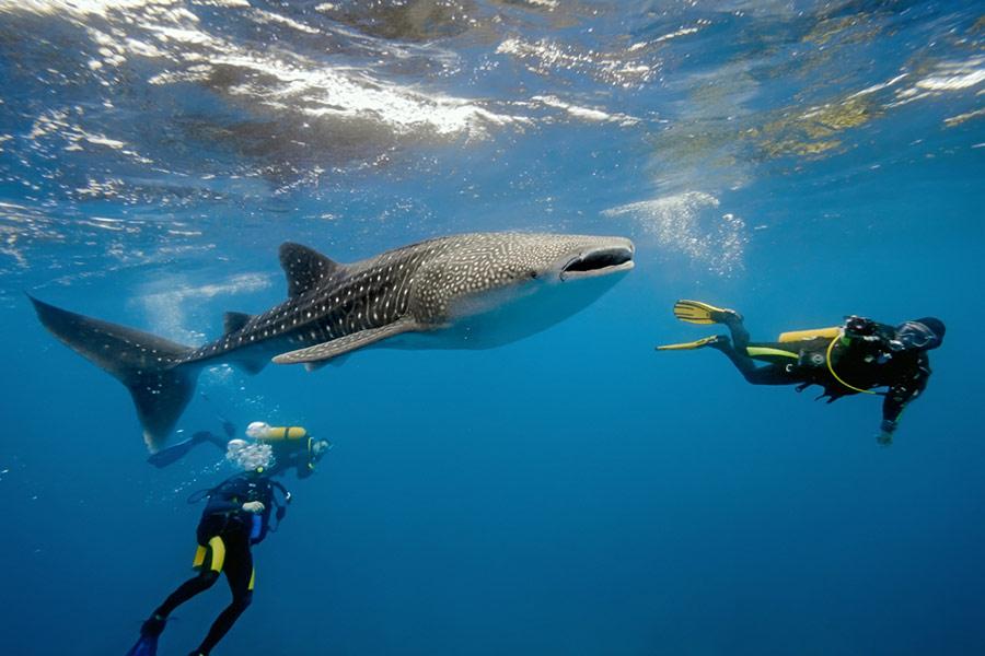 Tiburón ballena en las aguas de Holbox