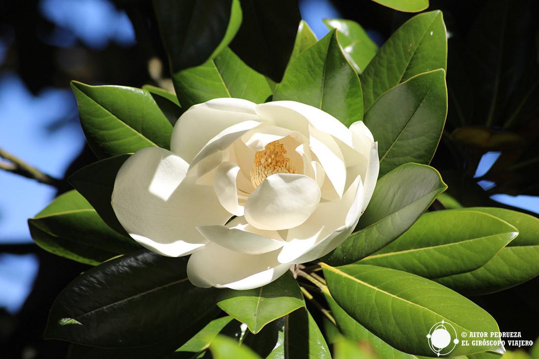 Magnolio en los jardines del Parador de Limpias