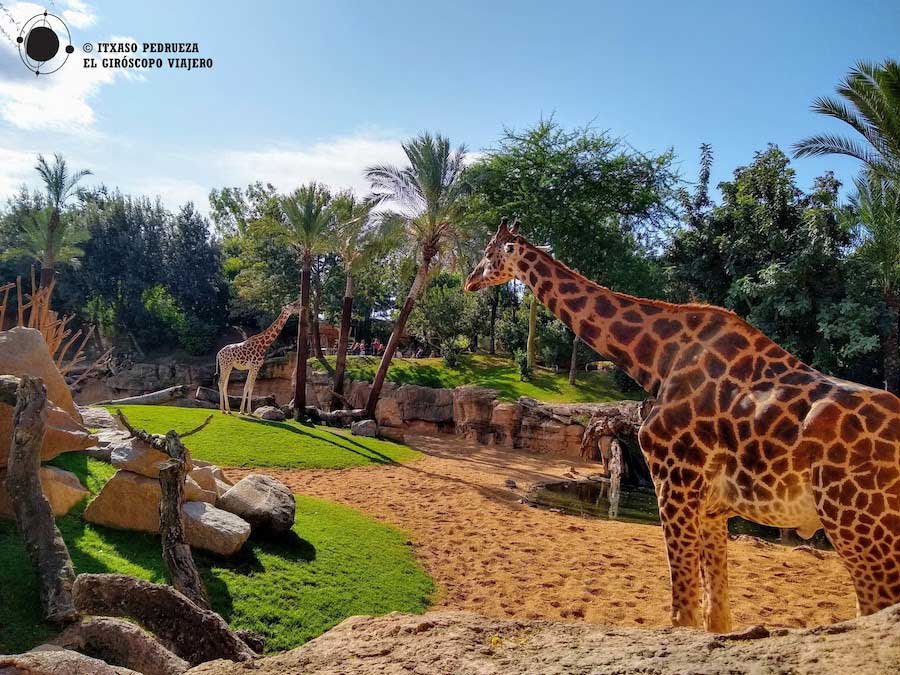 Jirafas en el Bioparc de Valencia