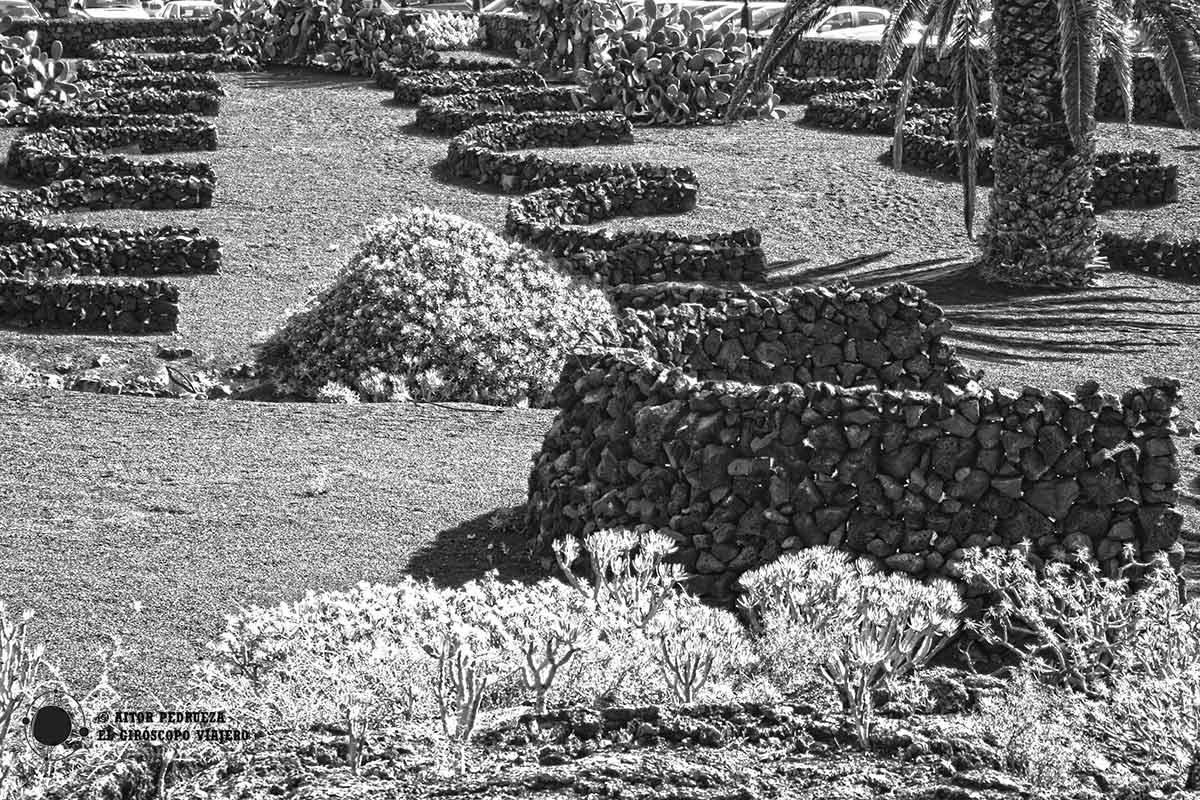 Los socos, muros de piedra para proteger la vegetación del viento de Lanzarote