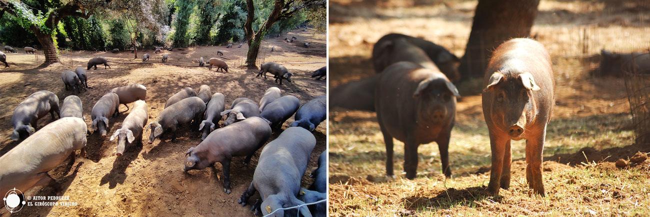 Cerdos de raza ibérica en las dehesas de la sierra